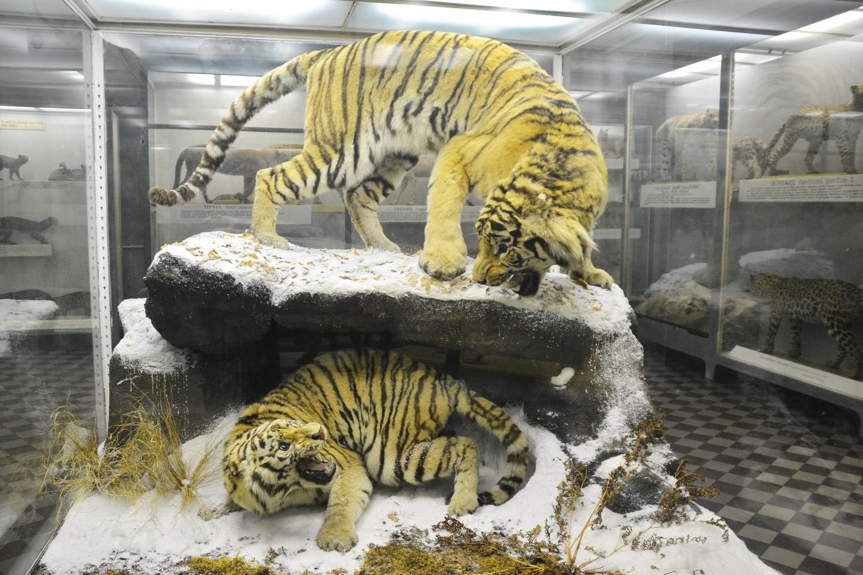 Амурский тигр в зоологическом музее Питера